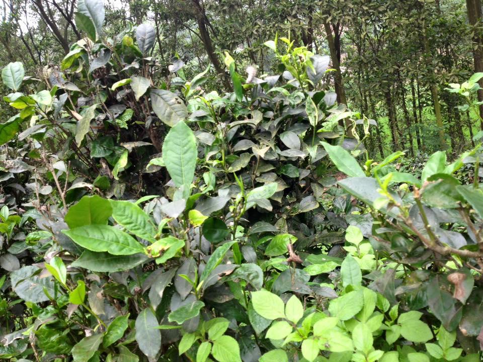 công thức detox giảm mỡ bụng với trà xanh, mật ong chanh