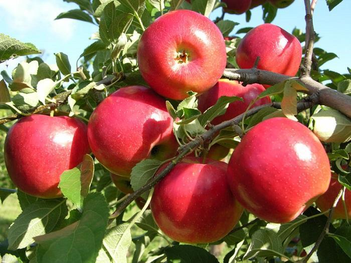 cách giảm mỡ bụng hiệu quả với táo