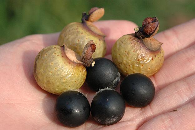 quả bồ hòn tại hà Nội đã tách hạt
