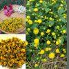 trà hoa cúc từ trồng, hái và sấy tự nhiên